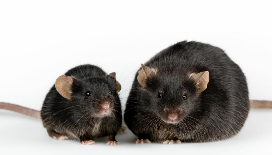 Forskere har funnet et hittil ukjent system for regulering av kroppsfett hos mus og rotter. Dyra bruker tyngdekrafta til å holde vekta.  (Illustrasjonsfoto:  Janson George / Shutterstock / NTB scanpix)