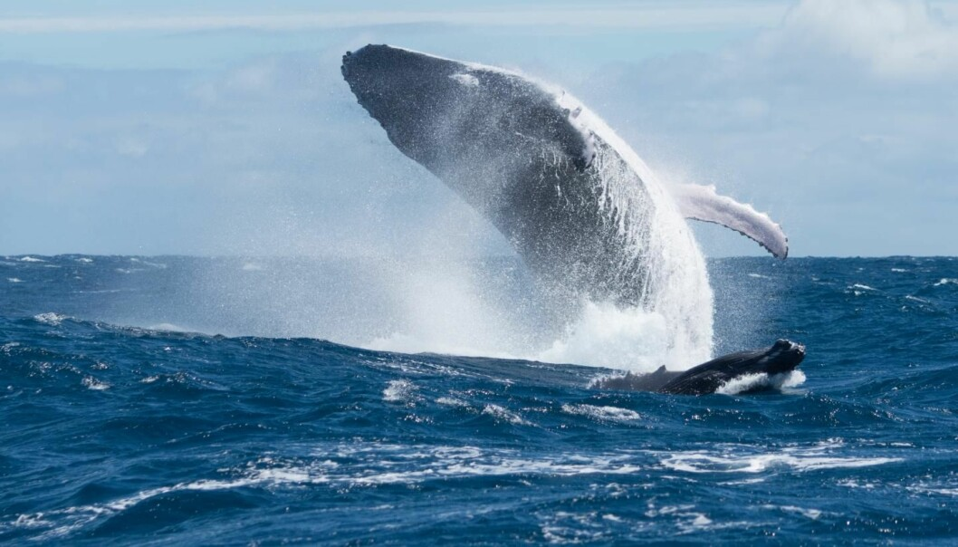 Knølhvalen er en av hvalartene som har kommet kraftig tilbake etter man sluttet å jakte på de. Audun Rikardsen sier at deres varierte kost gjør de mer fleksible og at dette nok kan være en av grunnene til at bestanden nå klarer seg godt. [Foto: Seb c'est bien / Shutterstock / NTB scanpix]