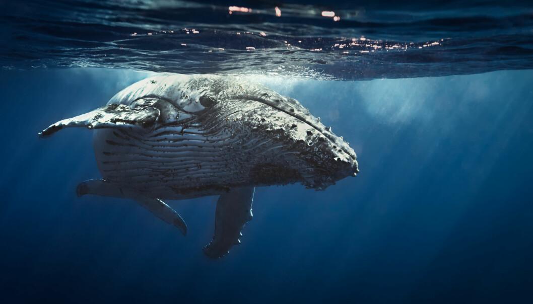 Knølhvalen er kjent for sine spektakulære hopp, sin avanserte sang og karakteristiske sveive eller
