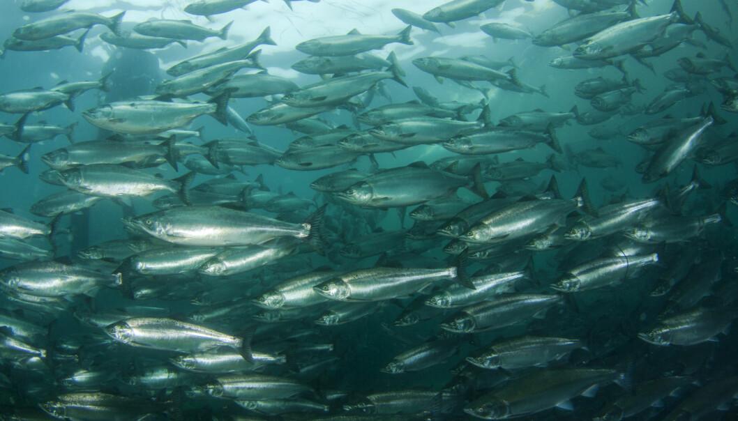 Vi vet i dag mye om villaksens liv i elver og vassdrag, men mindre om hva den utsettes for i havet. Nå forener sentrale forskningsmiljøer krefter i et nytt forskningsprosjekt for å undersøke hva som skjer med laksen mens den er i havet. (Foto: Shutterstock / NTB Scanpix)