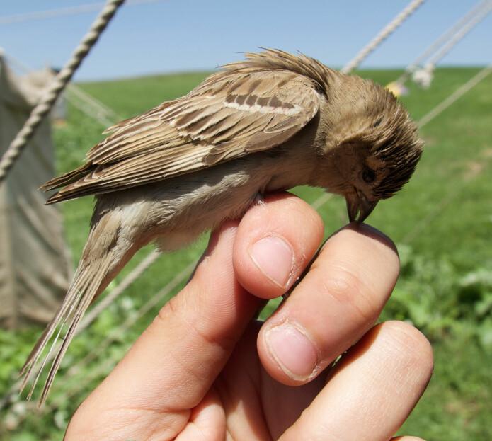 Bactrianus-spurven ligner trolig på gråspurvens forfedre. Den ser ut omtrent som en gråspurv, men er sky og unngår mennesker. Dette er ett av eksemplarene som forskerne fanget i Kazakhstan. Den er nok ikke så komfortabel akkurat her. Men ingen av fuglene ble skadet, og alle ble sluppet fri etterpå. (Foto: Ravinet, m. fl.)