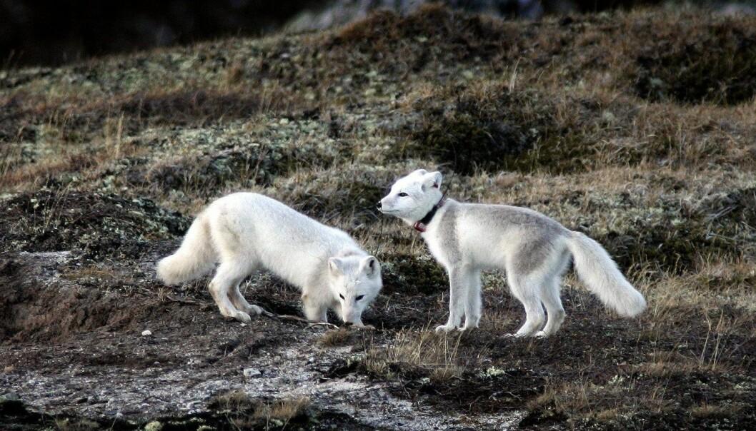 I 2007 ble det satt ut fjellrevvalper på Dovrefjell. Også disse hadde blitt avlet fram på stasjonen på Sæterfjellet i Oppdal. Nå skal det settes ut 29 valper fra samme avlsstasjon, denne gang på Varangerhalvøya i Finnmark. Bildet ble tatt på Dovrefjell i 2007. (Foto: Gorm Kallestad, NTB scanpix)