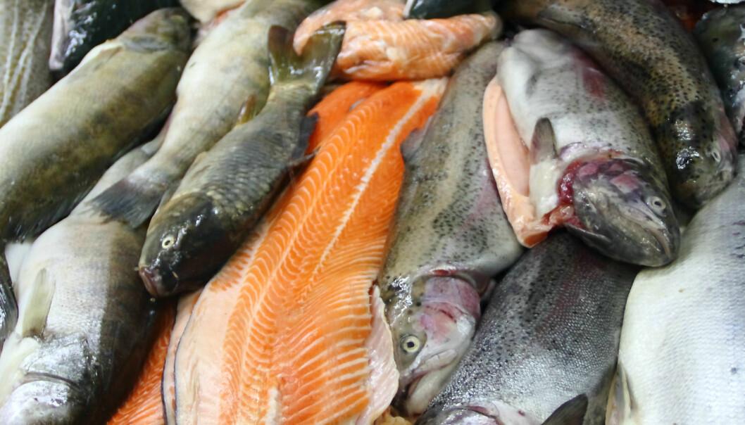 Mellom 30 til 50 millioner laks dør årlig i norske oppdrettsanlegg. Denne fisken kan brukes i biogassproduksjon, mener forsker. (Illustrasjonsfoto: Colourbox)