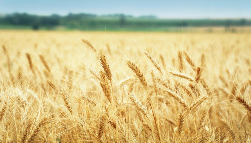 Nå som forskere har nær fullstendig oversikt over hvetens gener kan de lage en egen type hvete som ikke gir allergireaksjoner hos de med cøliaki. (Illustrasjonsfoto: Shutterstock / NTB Scanpix)