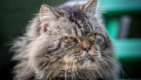 01a65897bc98 Når katten din blir gammel får den gjerne mer behov for menneskelig  kontakt. Derfor bør