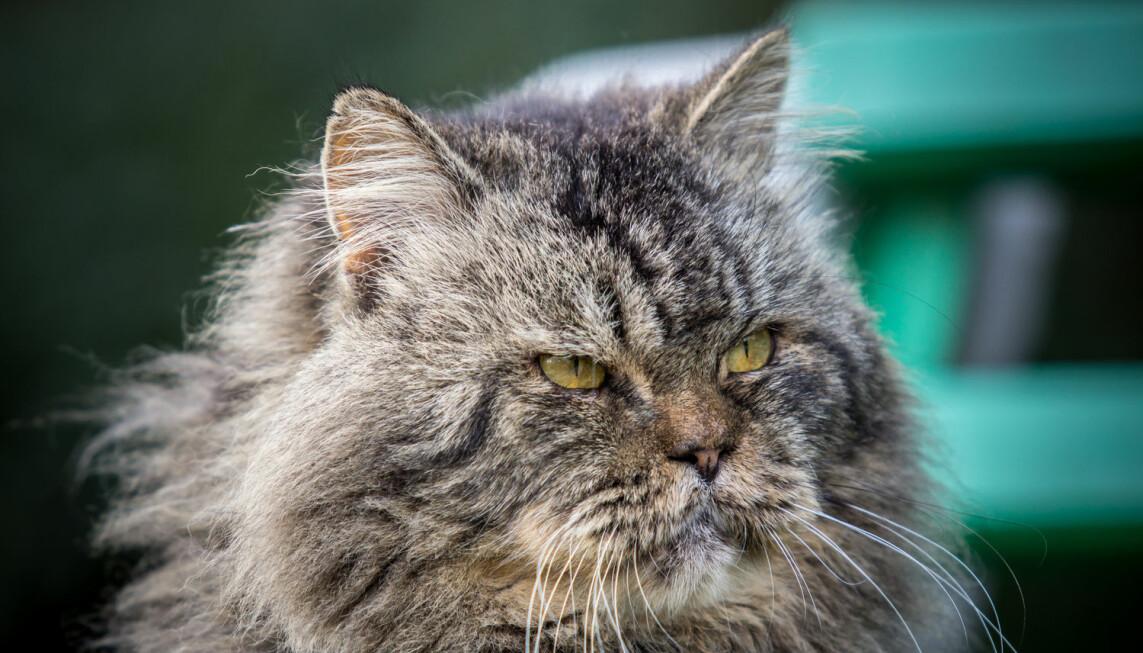 Når katten din blir gammel får den gjerne mer behov for menneskelig kontakt. Derfor bør du gi den litt ekstra kos og oppmerksomhet, mener katteekspert. (Credit: D.Bond/Shutterstock/NTB scanpix)