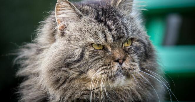 Gamle katter trenger mer kos