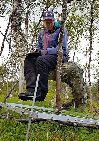 En krokete fjellbjørk brukes som kontorstol i vårt åpne kontorlandskap. (Foto: Anders Often)
