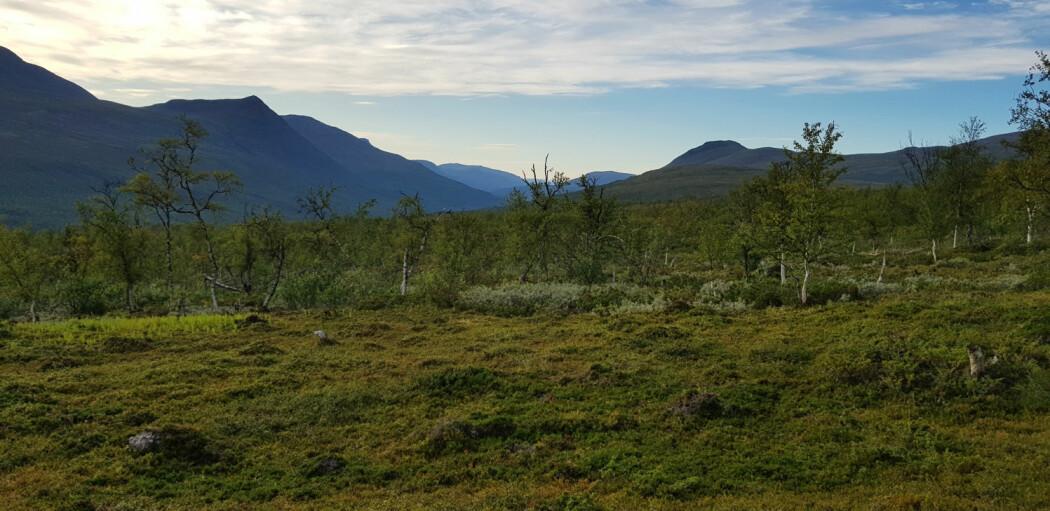 Frodig bjørkeskog i Øvre Dividal nasjonalpark. (Foto: Mari Jokerud)