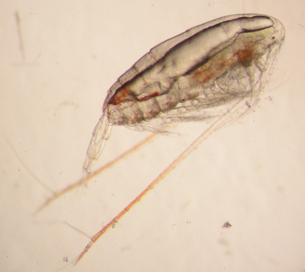 Calanus er blant planktonet som forskerne får i planktonhåven. (Foto: Jan Henrik Simonsen / Havforskningsinstituttet)