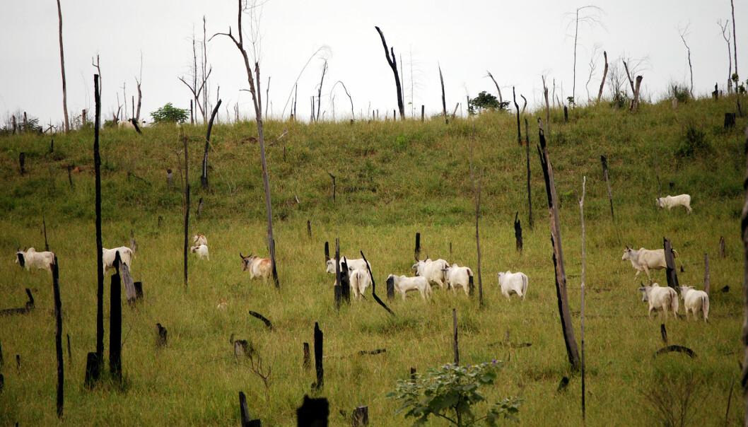 Kvegdrift er en største årsaken til avskoging i Brasil. Her er regnskog hugget og brent for å gi plass til kyr. [Foto: Shutterstock / NTB Scanpix]