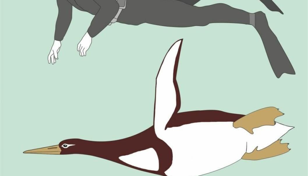 Kjempepingvinen har sannsynligvis vært opptil 1,77 meter lang, altså like stor som et voksent menneske.  (Illustrasjon: G. Mayr/Senckenberg Research Institute)