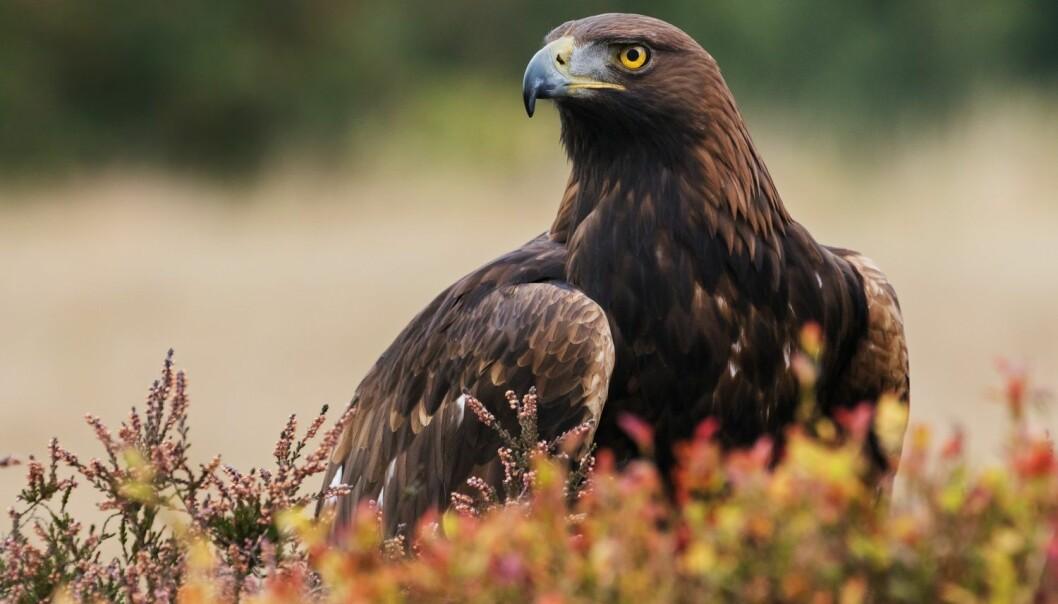Kongeørnen er Norges nest største rovfugl, etter havørn. Den kan bli opp mot 90 centimeter lang og kan få et vingespenn på over to meter. (Foto: Ian Duffield, Shutterstock, NTB scanpix)