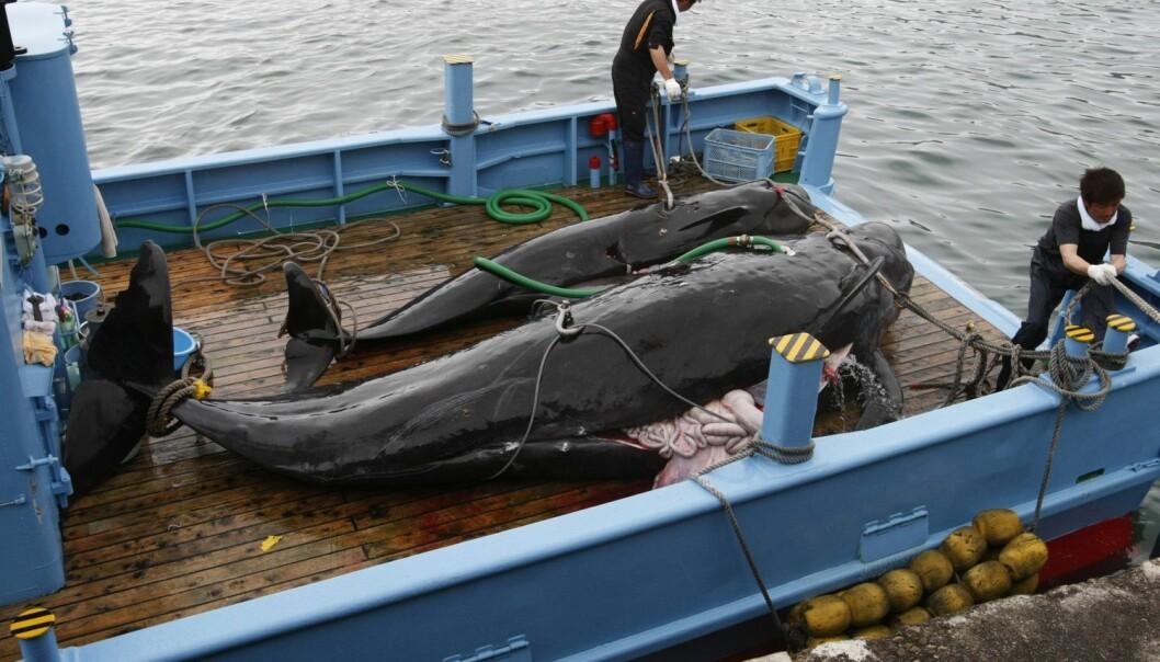 Japanske myndigheter sier den årlige hvalfangsten har etvitenskapelig formål. (Foto: Issei Kato, Reuters, NTB scanpix)