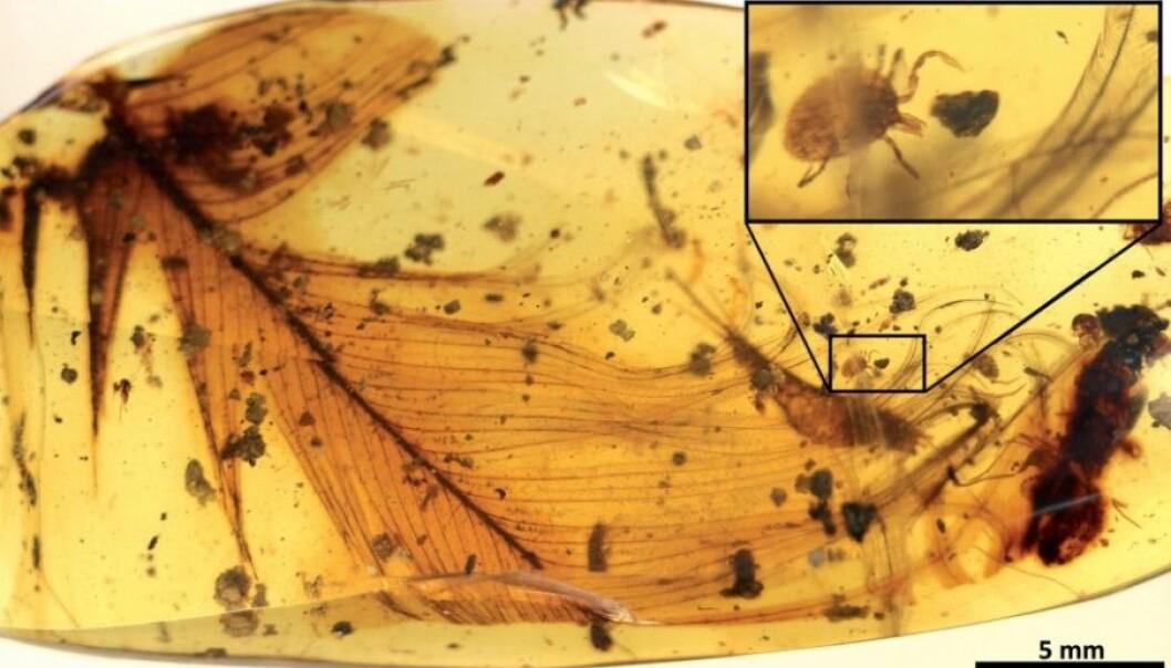 Frosset i tida: En 99 millioner år gammel flått på en dinosaurfjær. (Foto: Nature Communications; Peñalver et al.)