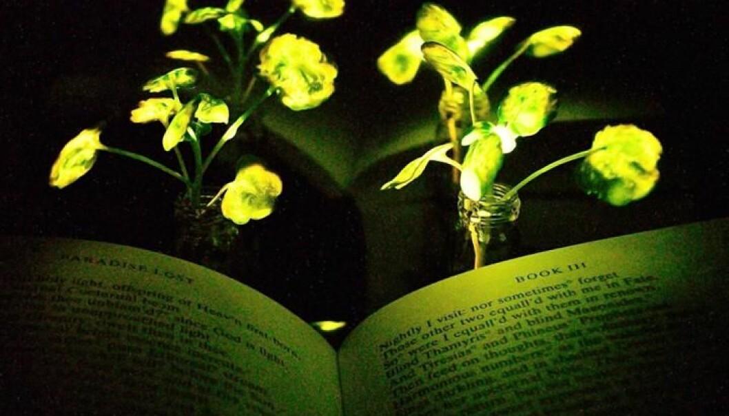Her kan man se an av plantene som er tilført nanopartikler og lyser. Lyset er mye svakere i virkeligheten enn det ser ut som på bildet, planten og boken er plassert foran et reflekterende ark for å forsterke lyset fra plantene på boka. [Foto: Seon-Yeong Kwak]