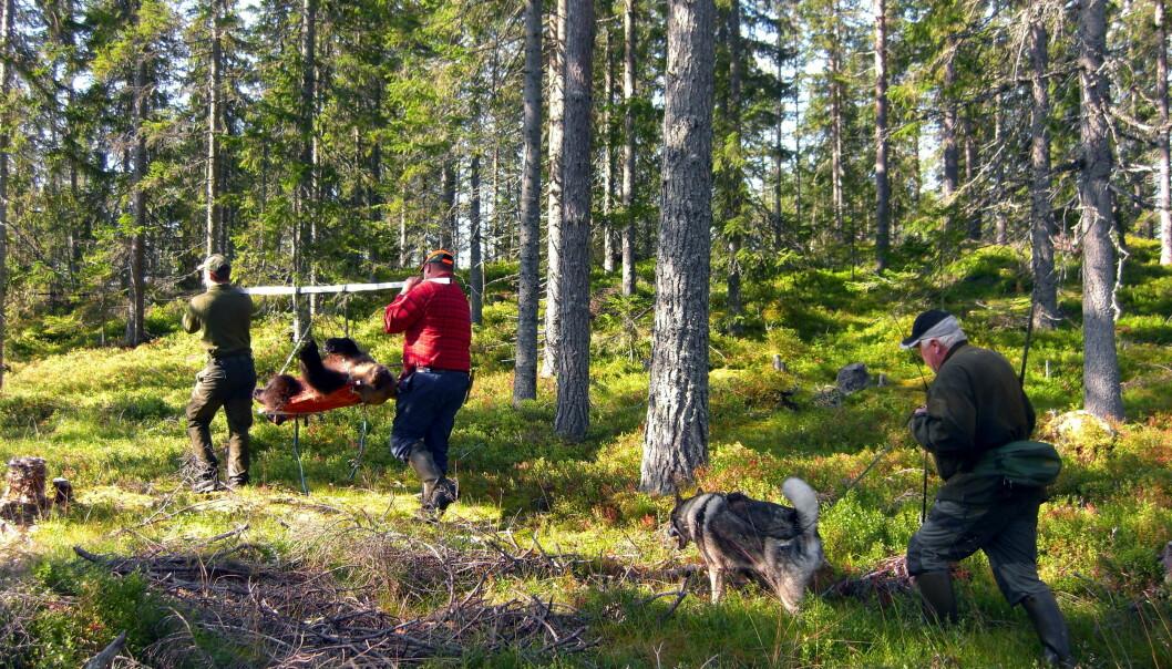 Til tross for at bjørnunger er beskyttet ved lov, øker jakt dødeligheten også for dem, viser ny studie.  (Foto: Richard Bischof)