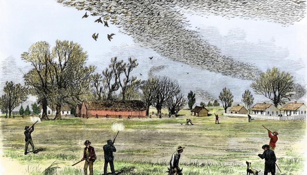 Var det mennesker som til slutt utryddet vandreduen? Denne illustrasjonen fra 1875 viser hvordan duene blir skutt i hopetall i Louisiana.  (Illustrasjon: Smith Bennet / Creative commons)