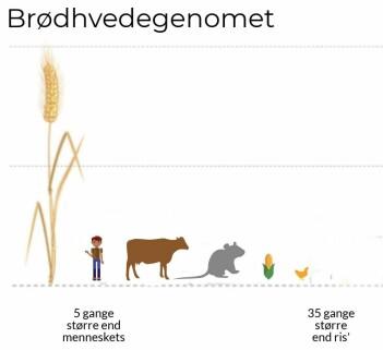 Hvetegenomet er gigantisk. Figuren viser størrelsesforholdet mellom genomene til ulike dyr og planter. (Illustrasjon: fra den vitenskapelige artikkelen)