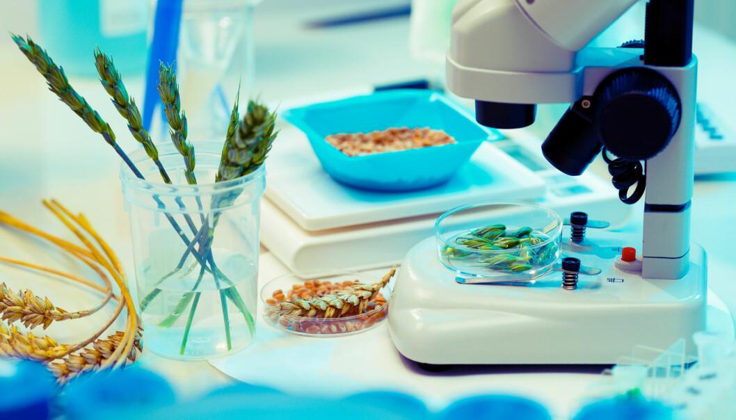 Man skulle ikke tro det, men hvetens arvemasse er en ytterst komplisert sak. Genomet er fem ganger større enn menneskets og 35 ganger større enn ris sitt. (Foto: science photo / Shutterstock / NTB scanpix)
