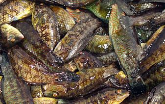 Forskere kaller leppefisken for et ikke-bærekraftig eksperiment