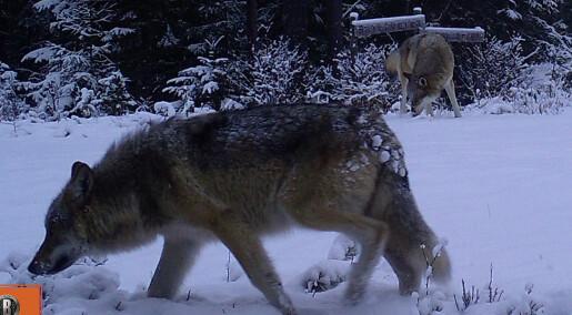 88 ulver registrert i Norge så langt