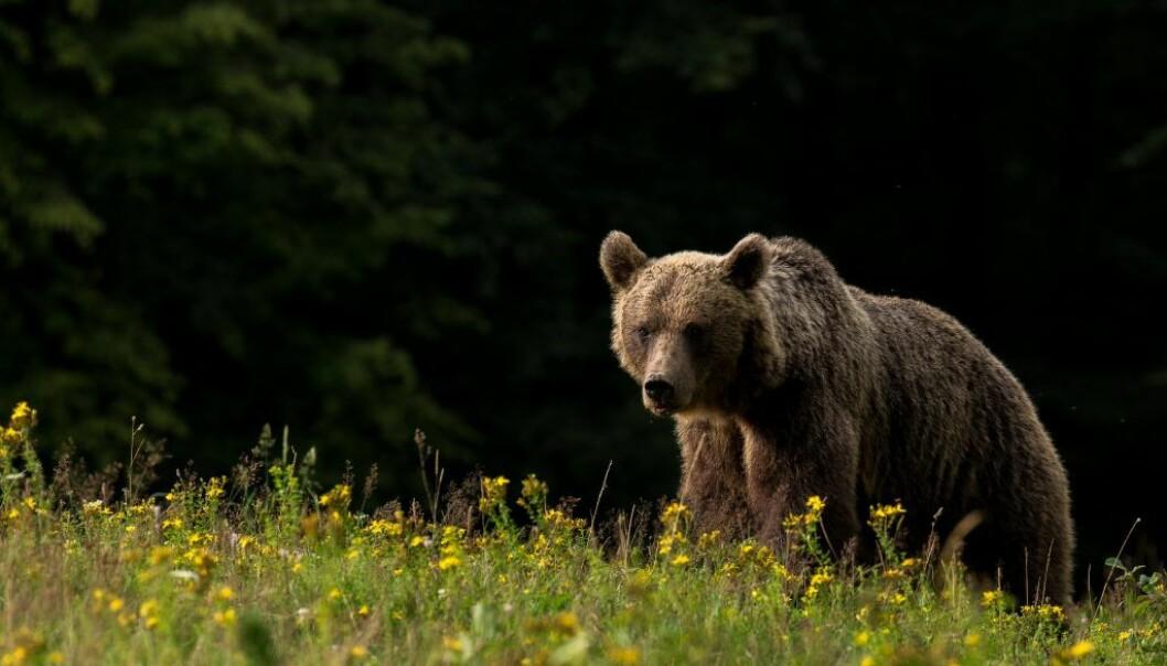 Mest brunbjørn, men også et lite stykke utdødd hulebjørn. (Foto: Lajos Berde)