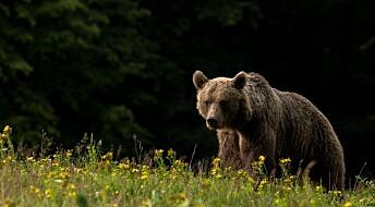 Utdødd hulebjørn lever videre i brunbjørnens gener