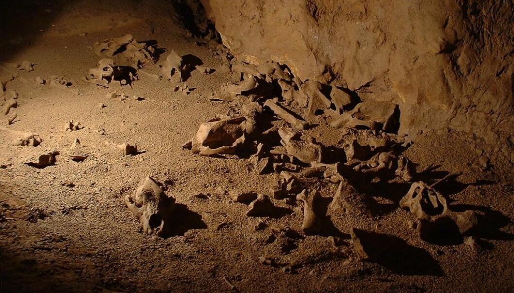 Hulebjørnene døde ofte i løpet av vinterdvalen. Derfor kan det ligge hundrevis av skjeletter i mye brukte huler. (Foto: Andrei Posmoșanu)