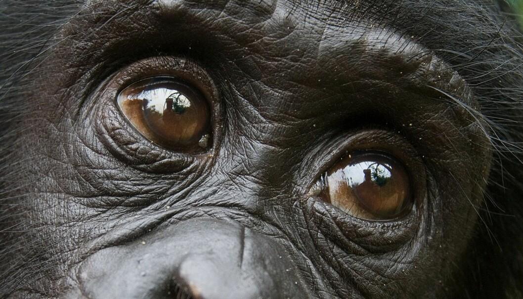 Bonoboene hjelper gjerne fremmede. Men er det bare fordi den ikke er egoistisk? (Foto: Gudkov Andrey, Shutterstock, NTB scanpix)
