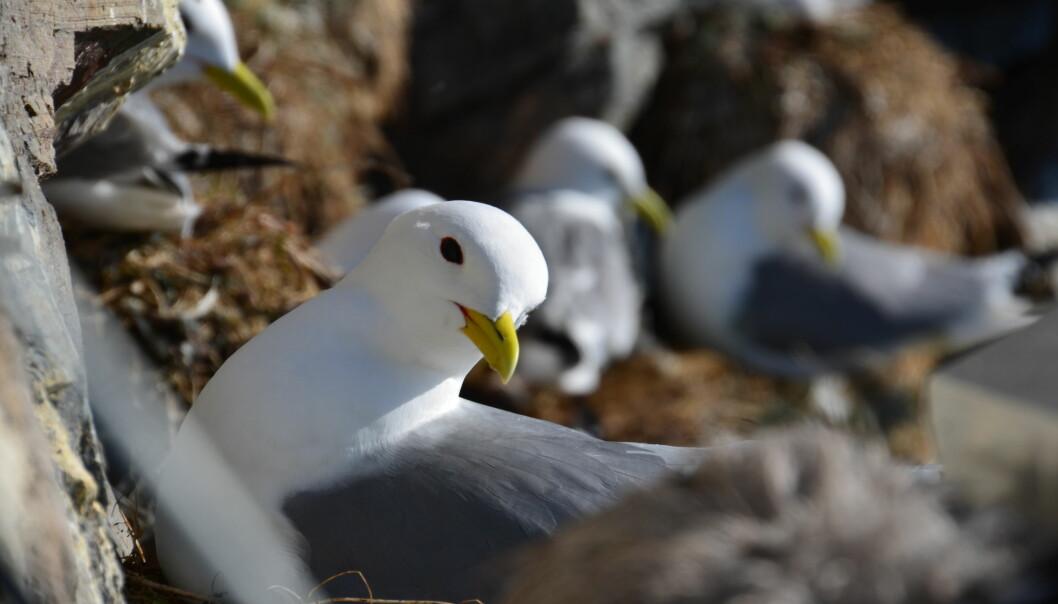 Forskere har funnet store variasjoner i egg- og kullstørrelse hos krykkjer på Hornøya. Varmere sjøtemperatur er årsaken, mener de. (Foto: Helge M. Markusson / Framsenteret)