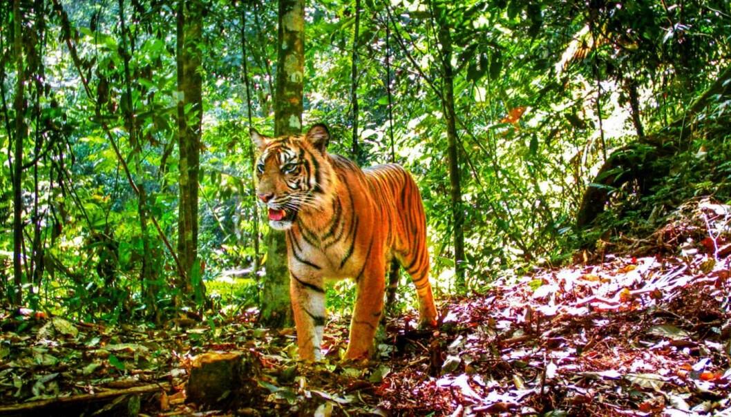En tiger på Sumatra poserer for kameraet som forskerne har satt ut i jungelen. (Foto: Matthew Luskin)