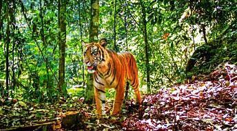Tigrene på Sumatra er sterkt truet av for liten plass