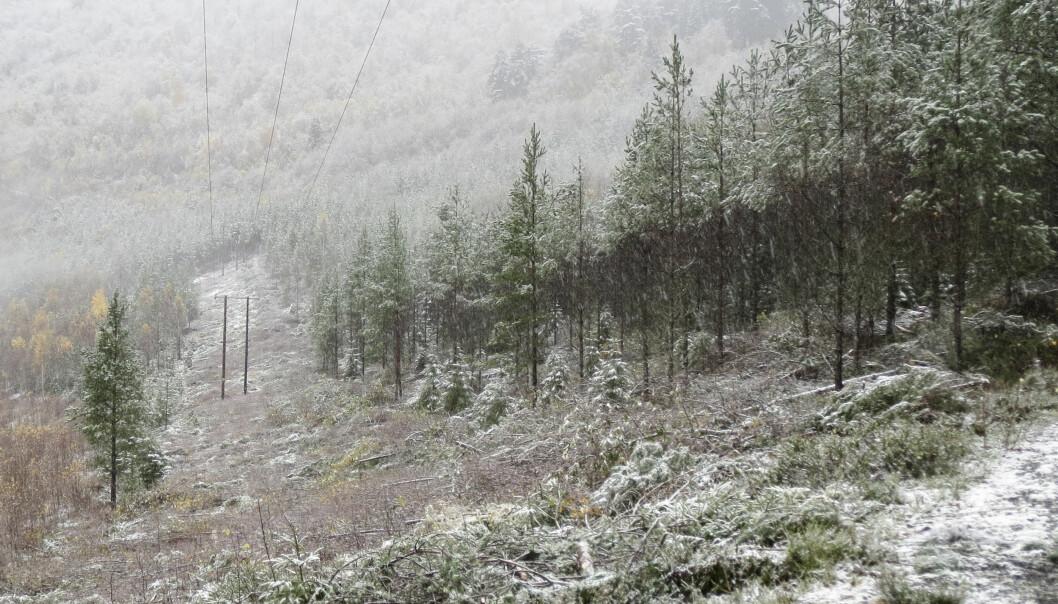 Trær som faller på strømlinjer, kan forårsake strømbrudd. For å unngå dette anbefaler forskere å tynne ut skogen som ligger langs strømlinjene, slik at trærne som står igjen, blir sterkere.  (Foto: Hans Peter Eidseflot, Mørenett)