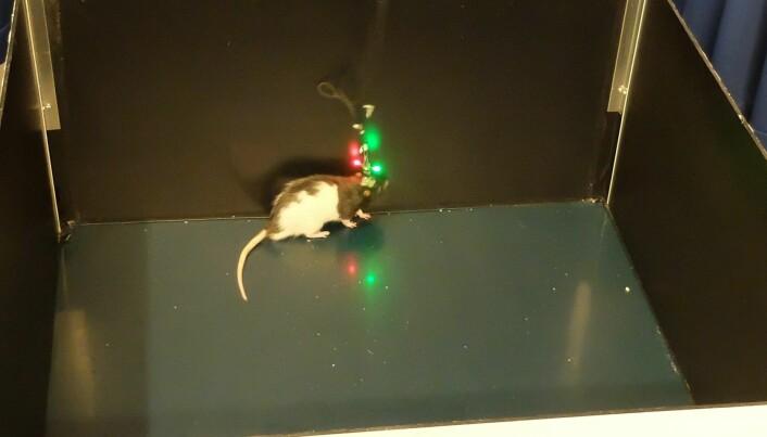 Rotta Marco løper rundt i boksen på jakt etter mat mens sensorer måler aktiviteten i enkeltceller i hjernen. (Foto: Eivind Torgersen)