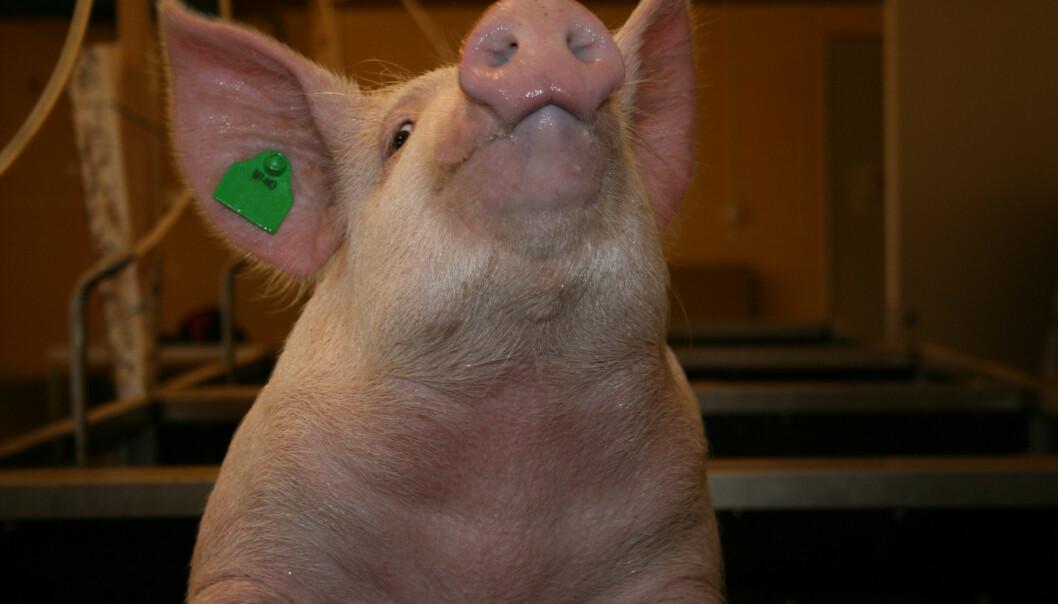 Målet til forskerne er at framtidens norske griser skal klare seg på mer kortreist fôr.  (Foto: Janne Karin Brodin)