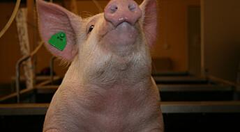 Vil avle fram gris som tåler norsk fôr