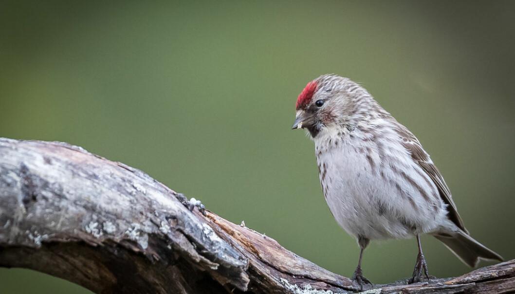 Gråsisiker bruker mer tid på å krangle enn andre småfugler gjør. Betyr det at de er mer utsatt for å bli spist av rovfugler fordi de ikke følger med? (Foto: Tor Omnes)