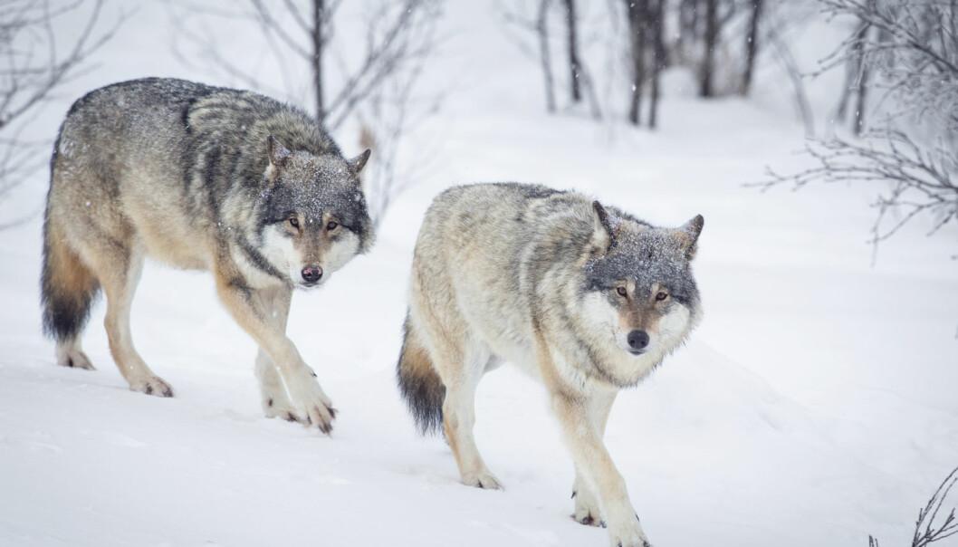 Vinteren 2016/2017 ble det registrert 51 til 56 ulver som kun bor i Norge, og samme antall holder til i et grenserevir mellom Norge og Sverige ifølge rovdata.no. Foto: Kjetil Kolbjornsrud / Shutterstock / NTB scanpix