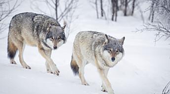Ekstrem innavl hos norske og svenske ulver