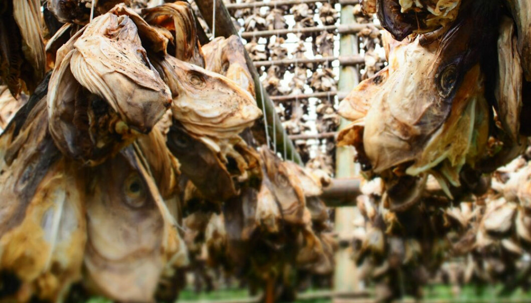 Noen torskehoder selges som tørrfisk. Men de aller fleste går til spille.  (Foto: Sintef)