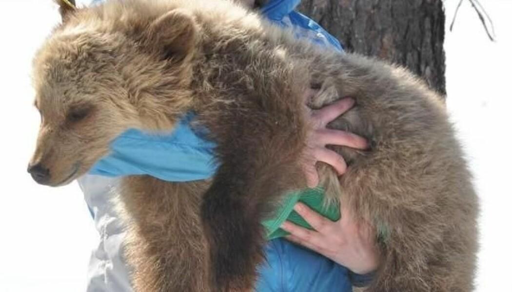 Veterinærer fra Høgskolen i Innlandet deltar i en film om medisinsk forskning på bjørn som kommer på TV nå i høst. (foto: Jon M. Arnemo, HINN)