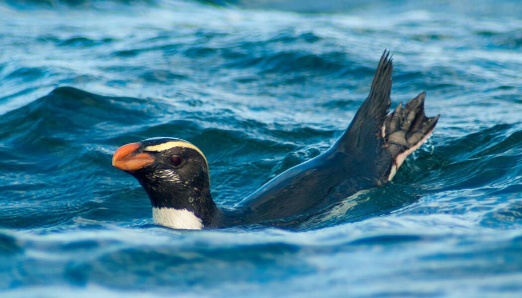 Svømmende Tawaki-pingvin. (Bilde: Thomas Mattern/CC BY)