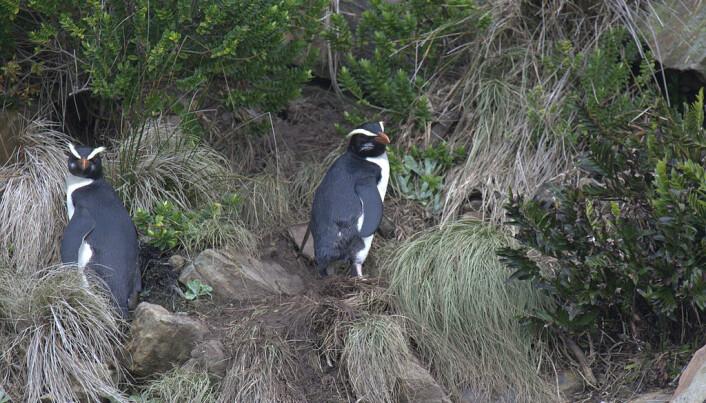 Tawaki-pingviner på land på New Zealand. (Bilde: Travelwayoflife/CC BY-SA 2.0)