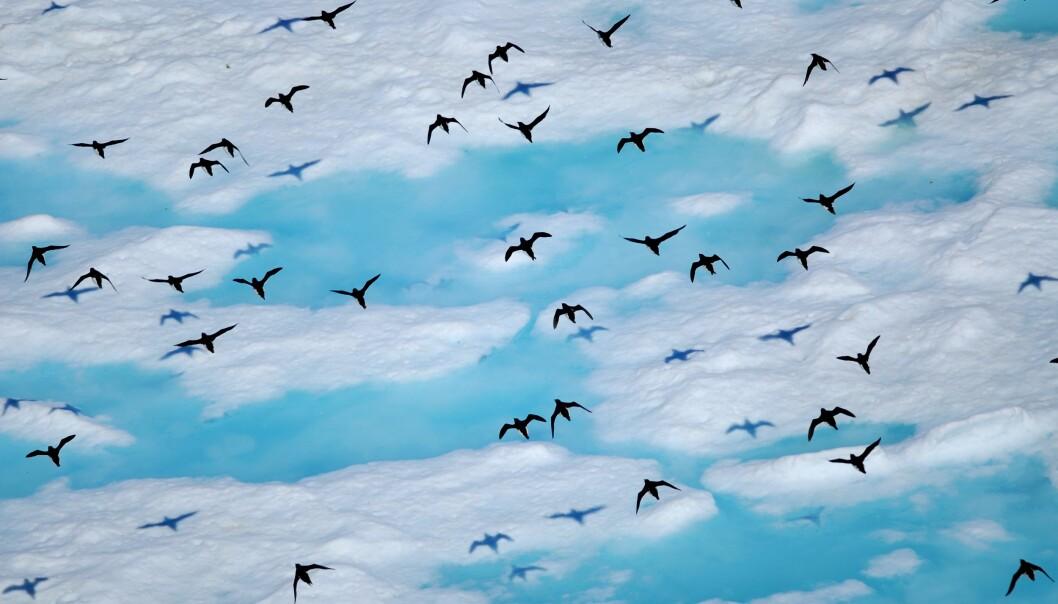 Polarlomvi-bestanden er allerede minkende. (Foto: Sebastién Descamps / Norsk Polarinstitutt)