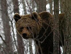 I bjørnens fotspor