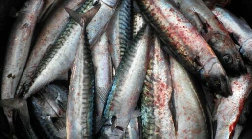 Makrellfilet vert betre med forskarhjelp