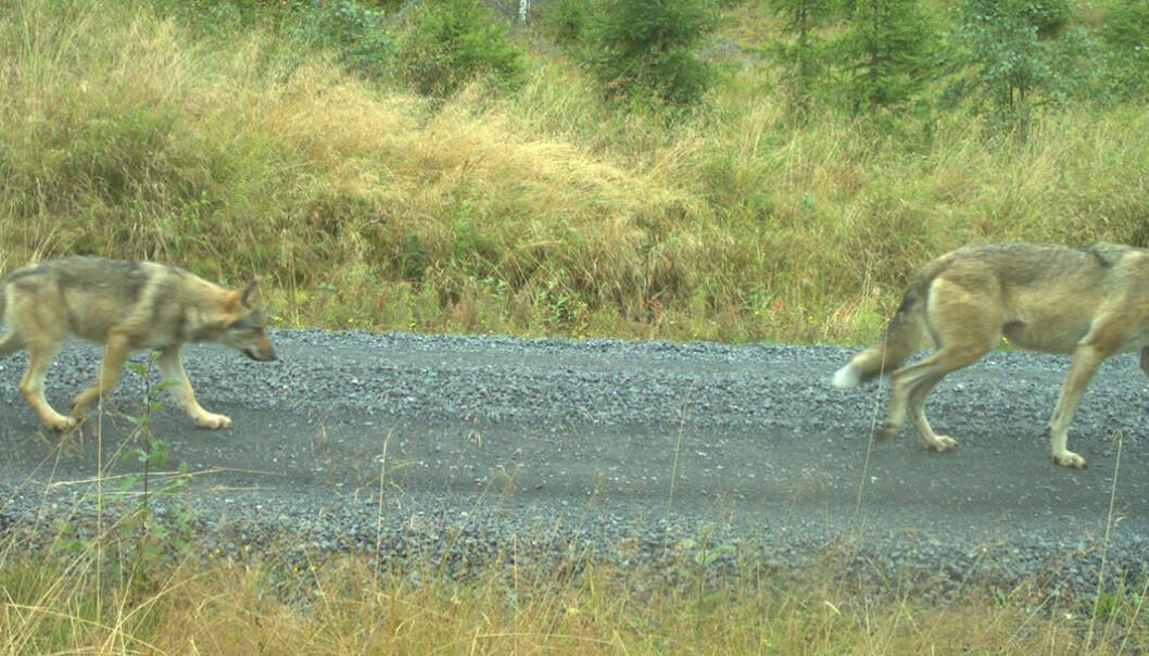 Ledertispa (V569) og en valp fotografert i september i år i Kynnareviret ved Elverum. (Foto: Viltkamera.nina.no)
