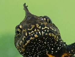 Salamanderbloggen