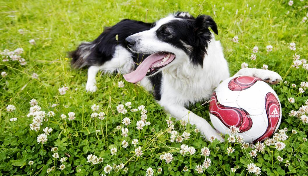 Hund er bra for helsa, har svenske forskere funnet ut. (Foto: Kyrre Lien, NTB scanpix)